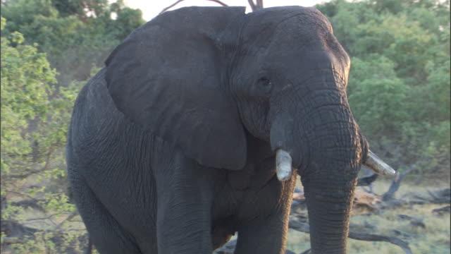 Bull elephant walks in bush, Botswana