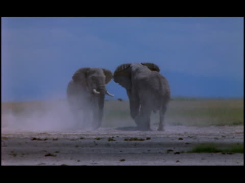 bull elephants confront each other on a dusty plain. - zoologia video stock e b–roll