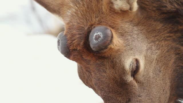 cu bull elk antler new growth / estes park, colorado, united states - antler stock videos & royalty-free footage