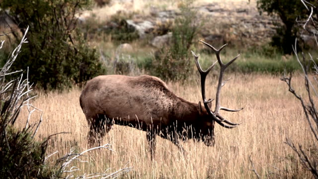 bull elk bugle - bugle stock videos and b-roll footage