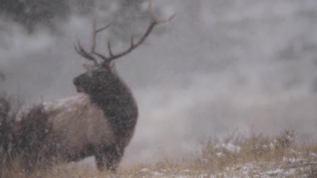MS Bull elk bugling in blizzard during rut AUDIO / Estes Park, Colorado, United States