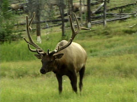 vídeos y material grabado en eventos de stock de a bull elk bugling - artbeats