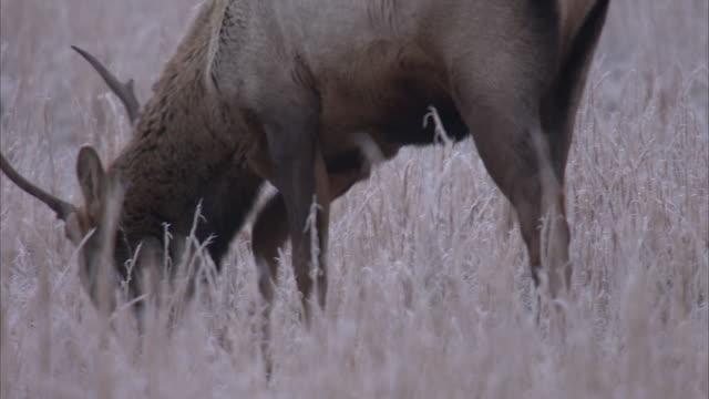 a bull elk grazes in a frosty meadow. - frost stock videos & royalty-free footage