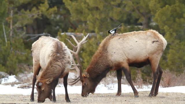 stockvideo's en b-roll-footage met ms bull elk having just lost antlers feeding in field / estes park, colorado, united states - estes park