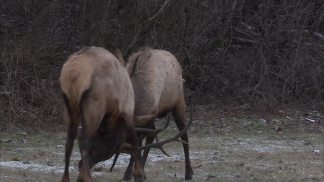 bull elk lock antlers as they vie for dominance. - 枝角点の映像素材/bロール
