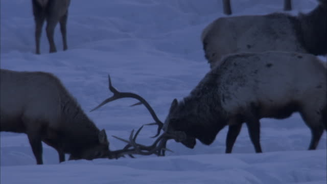 bull elk lock antlers on a snowy plain in yellowstone national park. - アカシカ点の映像素材/bロール