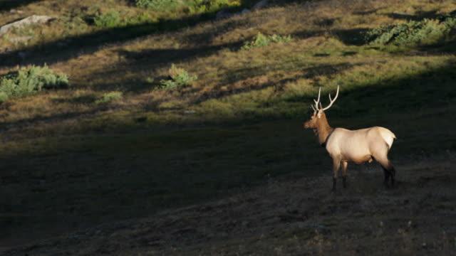 bull river elk auf alpinen tundra im rocky mountain np, colorado - wapiti stock-videos und b-roll-filmmaterial