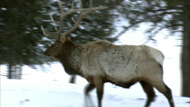 a bull elk walks in a snowy forest. - male animal stock videos & royalty-free footage