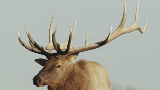 vidéos et rushes de bull elk with large rack of antlers turns head and looks at camera. - caribou