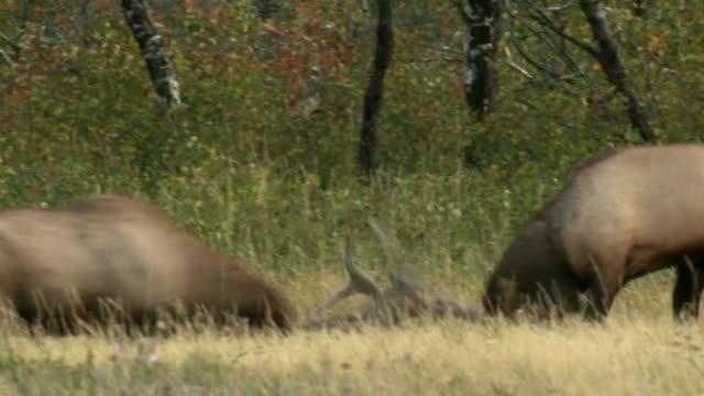 MS PAN Bull elks (Cervus canadensis) fighting in rutting season in field, Waterton Lakes National Park, Alberta, Canada