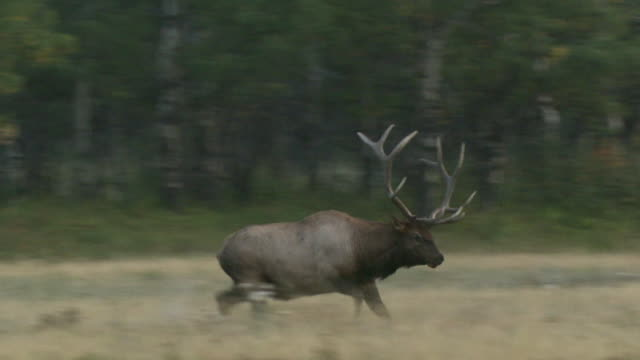 ms pan bull elks (cervus canadensis) fighting in rutting season in field, waterton lakes national park, alberta, canada - wapiti stock-videos und b-roll-filmmaterial