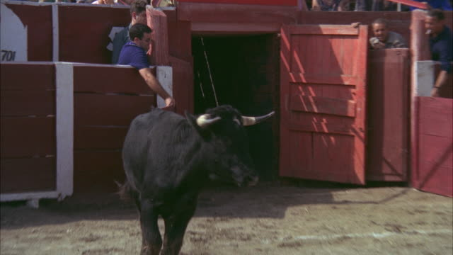 1967 ms cu bull entering bullfighting ring - gate stock videos & royalty-free footage