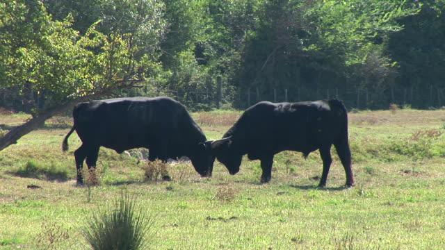 vídeos de stock e filmes b-roll de hd: touro luta - touro animal macho