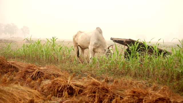 bull grazing in the field - ox cart stock videos & royalty-free footage