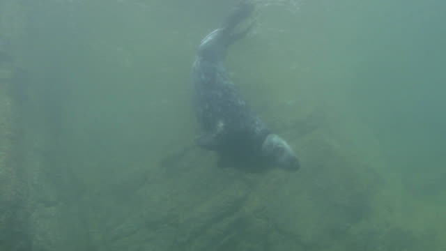 bull grey seal - grey seal stock videos and b-roll footage