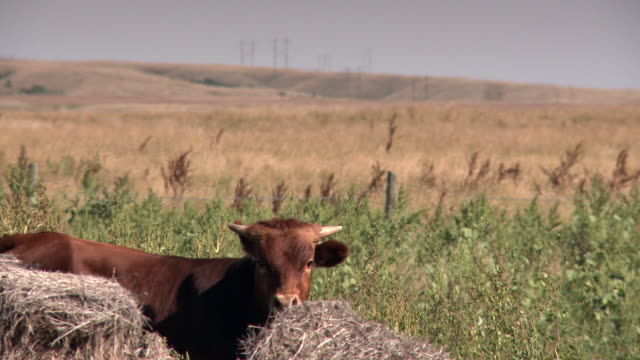 a bull hiding behind haystack - haystack stock videos & royalty-free footage