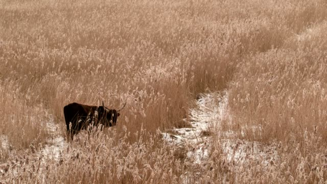 bull is grazing - reed grass family stock videos & royalty-free footage
