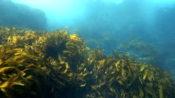 Bull kelp and seaweed moving in current underwater