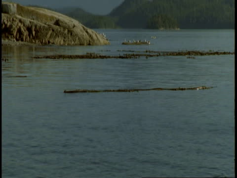bull kelp floats in clumps on the surface of telegraph cove. - kelp stock-videos und b-roll-filmmaterial
