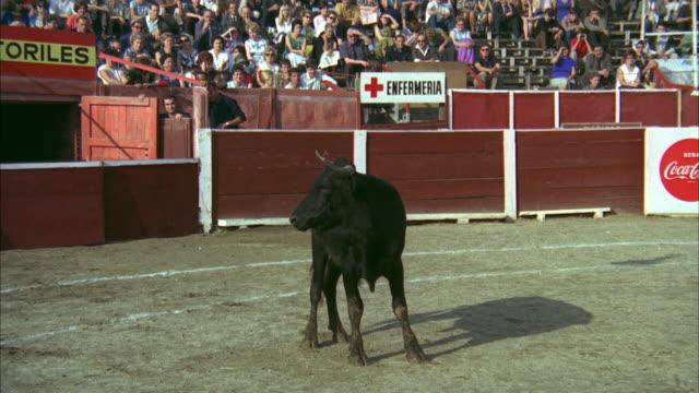 vidéos et rushes de 1967 ws bull looking around on bullfighting ring - taureau