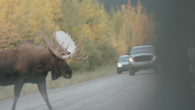 bull moose crossing a highway - elk stock videos & royalty-free footage