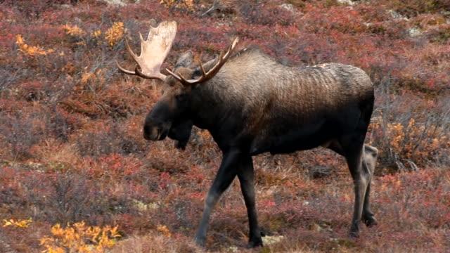 bull moose fairbanks alaska - denali national park stock videos & royalty-free footage