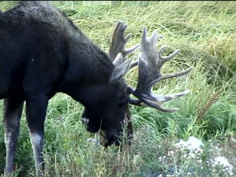 a bull moose grazing - pflanzenfressend stock-videos und b-roll-filmmaterial