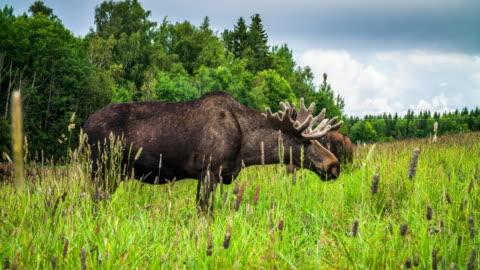 vídeos y material grabado en eventos de stock de alces de bull en suecia - sweden