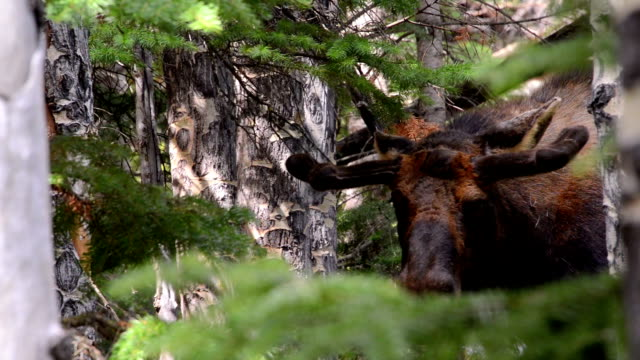 bull moose in the trees - 枝角点の映像素材/bロール