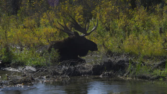 a bull moose lies in a shallow stream in grand teton national park. - parco nazionale del grand teton video stock e b–roll
