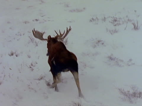 bull moose runs in the snow. - 枝角点の映像素材/bロール