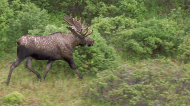 bull moose runs through shrubs in alaska - bush stock videos & royalty-free footage