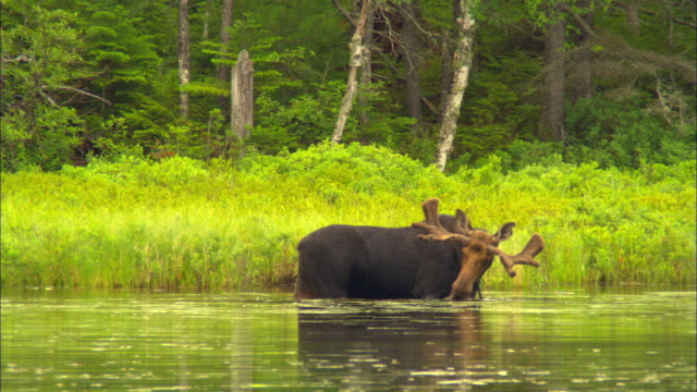 MS, PAN, Bull moose standing in pond and chewing on aquatic plants, Baxter State Park, Kidney Pond, Maine, USA