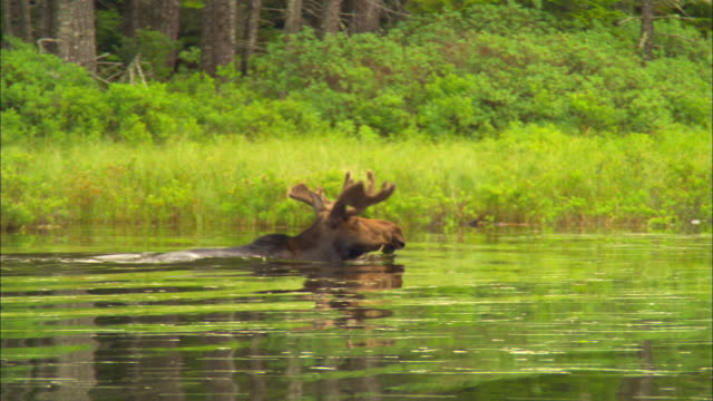 ms, bull moose swimming in pond and chewing on aquatic plants, baxter state park, kidney pond, maine, usa - water plant stock videos and b-roll footage
