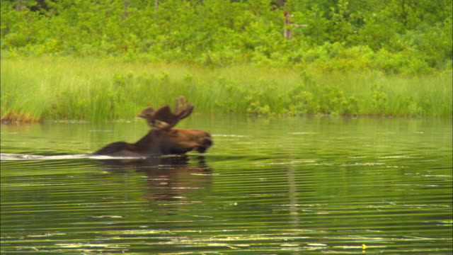 ms, bull moose swimming in pond, baxter state park, kidney pond, maine, usa - state park stock videos & royalty-free footage