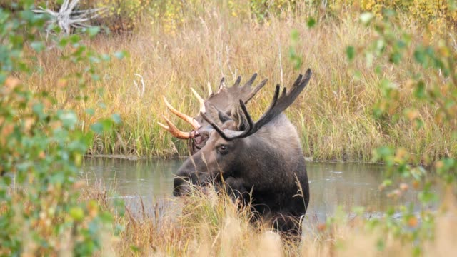 bull moose - mammal stock videos & royalty-free footage