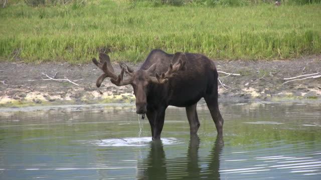 Bull Moose Walking and Drinking in Alaska Lake