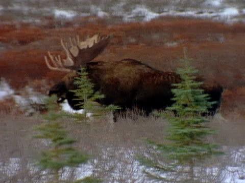 bull moose walks across the snow-dusted tundra. - ヘラジカ点の映像素材/bロール