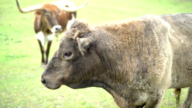 bull on the farm - wild cattle stock videos & royalty-free footage