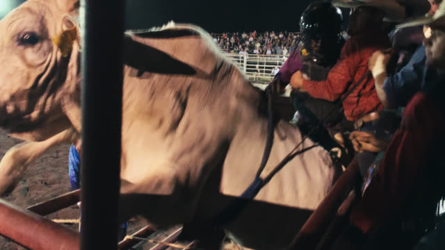 a bull rider wearing a protective helmet prepares to sit on a bull before competing in a bull riding event in a stadium full of people at night before the bull starts jumping and rearing up in its pen - rodeo stock videos & royalty-free footage
