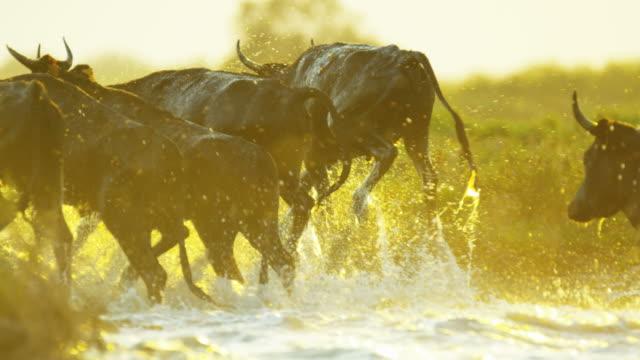 bull running cowboy water camargue horse sun flare - bulle männliches tier stock-videos und b-roll-filmmaterial