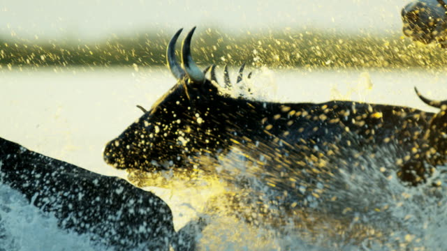 bull running water camargue animal horse freedom power - charging sports stock videos & royalty-free footage