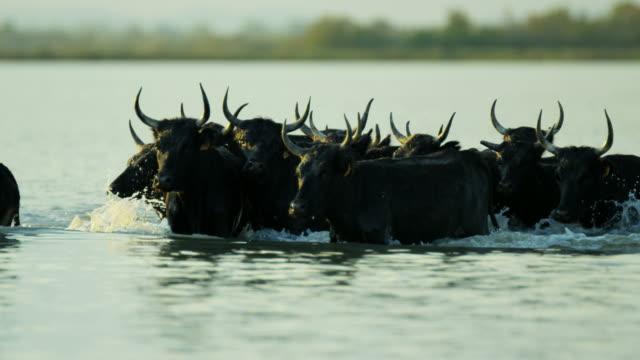 vidéos et rushes de bull running water camargue horse power freedom livestock - taureau