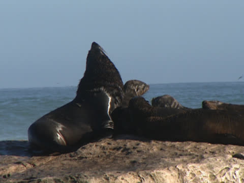 vidéos et rushes de a bull seal lords it over a herd of cows relaxing on rocks, the ocean roaring in the background. lamberts bay, cape town, south africa. - groupe moyen d'animaux
