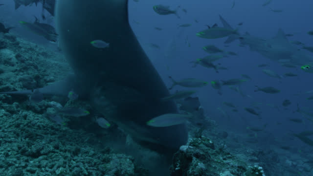 vidéos et rushes de bull shark (carcharhinus leucas) feeds on coral reef, fiji - chasser