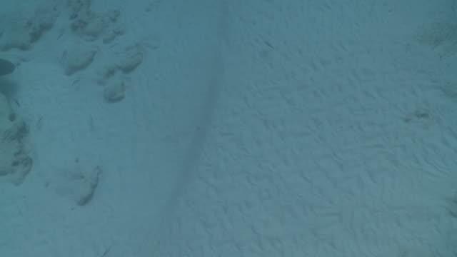 MS Bull shark over sand / Playa del Carmen, Isla Mujeres, Mexico