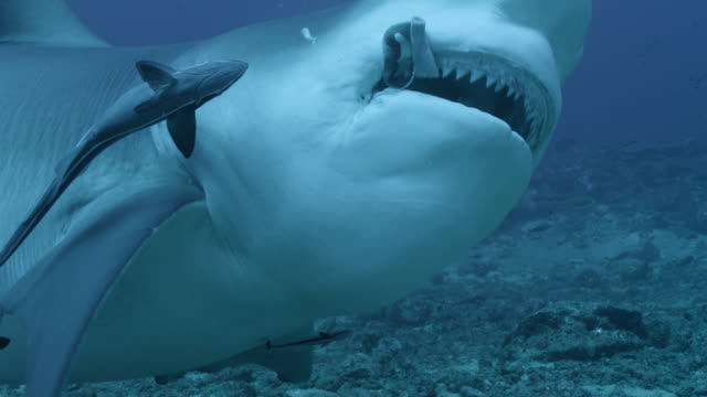 vidéos et rushes de bull shark (carcharhinus leucas) swallows food on coral reef, fiji - animal mouth