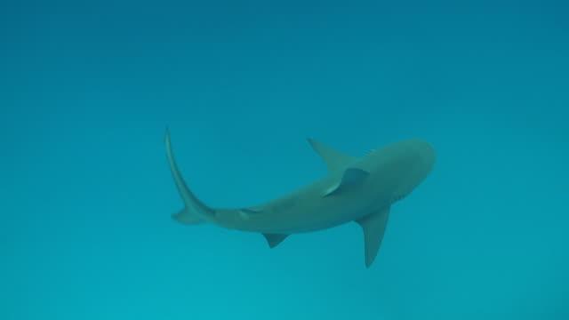 MS TS Bull shark swimming and eating / Playa del Carmen, Isla Mujeres, Mexico