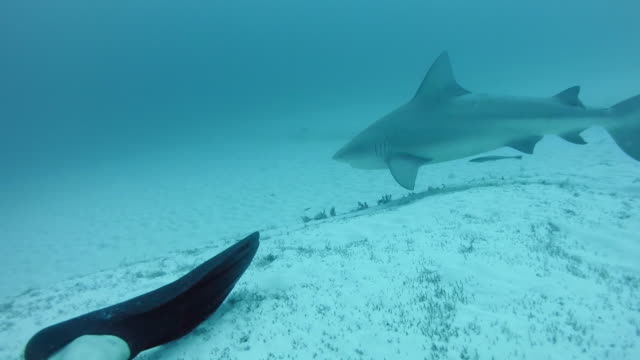 WS Bull shark (Carcharhinus leucas) swimming behind diver