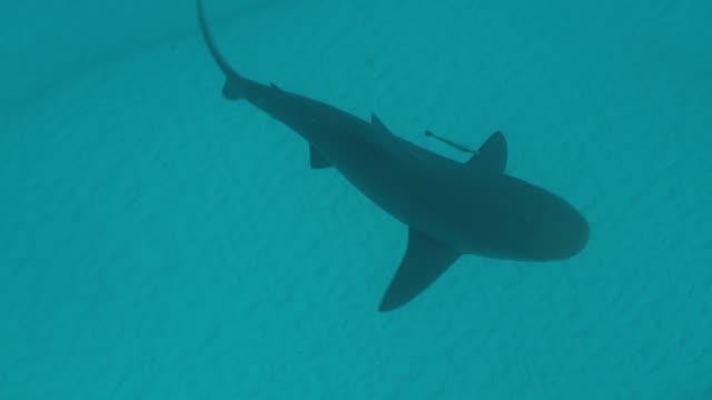 MS TS Bull shark swimming / Playa del Carmen, Isla Mujeres, Mexico